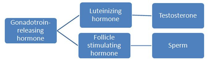 Cycle of Testosterone Production